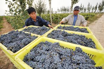 明仕亚洲_红寺堡葡萄