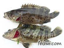 香港石斑鱼