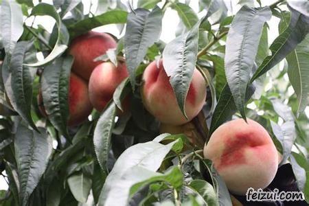 新沂水蜜桃