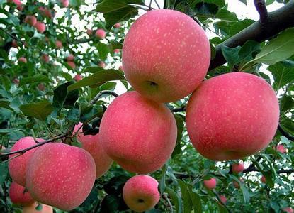 丰县红富士苹果