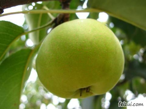 龙井苹果梨
