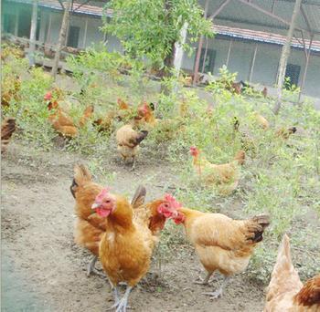 明仕亚洲_滨海草鸡