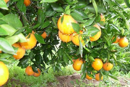 明仕亚洲_兴山脐橙