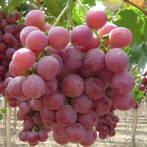 明仕亚洲国际娱乐_永宁红提葡萄