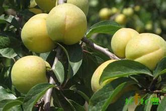 三管白水杏