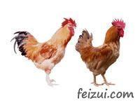 三角沙栏鸡