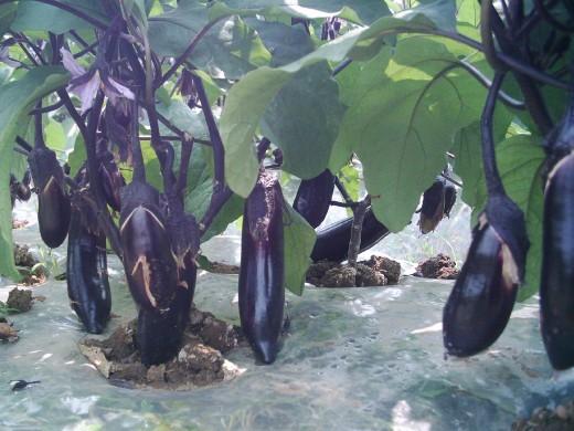 明仕亚洲国际备用网址_富里茄子