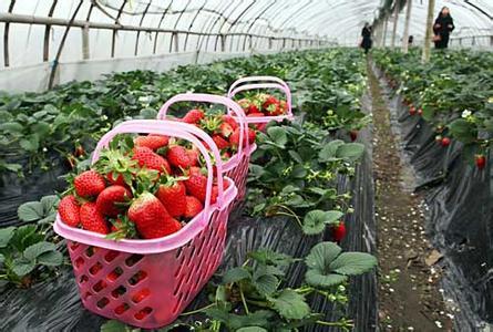 上海市赵屯镇――中国草莓之乡
