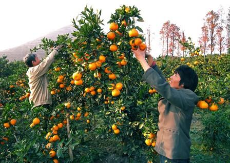 陕西省城固县――中国柑橘之乡