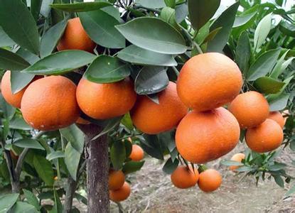 湖南省石门县――中国柑橘之乡