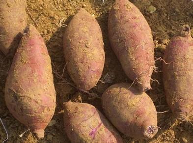 河南省舞钢市――中国红薯之乡
