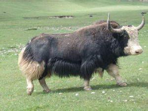 西藏那曲县――中国牦牛之乡