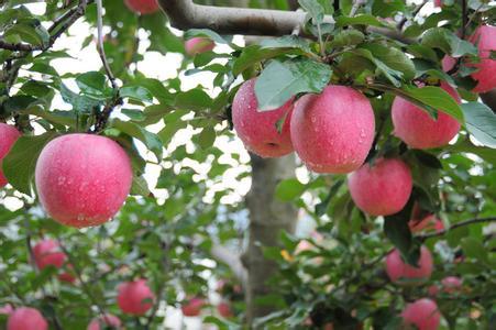 山东省招远市――中国红富士苹果之乡