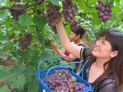 河南省偃师市――中国葡萄之乡