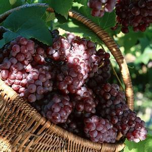 西藏左贡县――中国野生红葡萄之乡