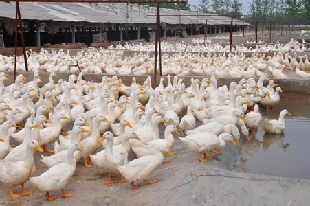 江苏省沛县――中国肉鸭之乡