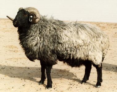 鄂尔多斯市东胜区――中国三北羊之乡