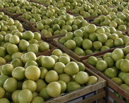 福建省平和县――中国�g溪蜜柚之乡